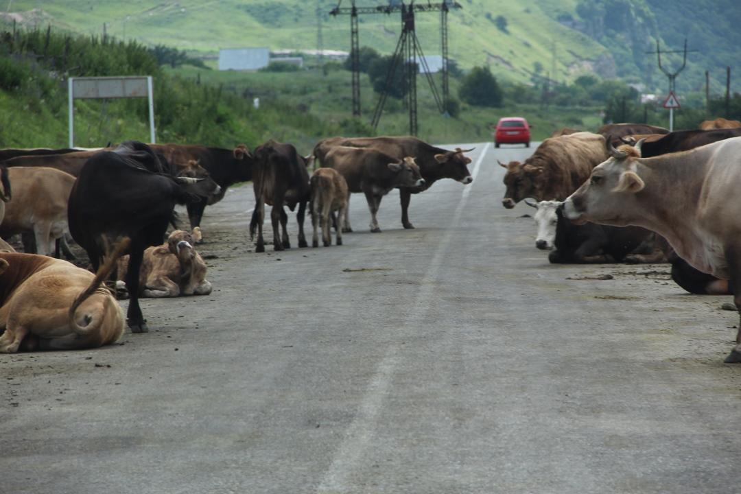 Ford Ranger: коровы на участке тест драйва - не помеха